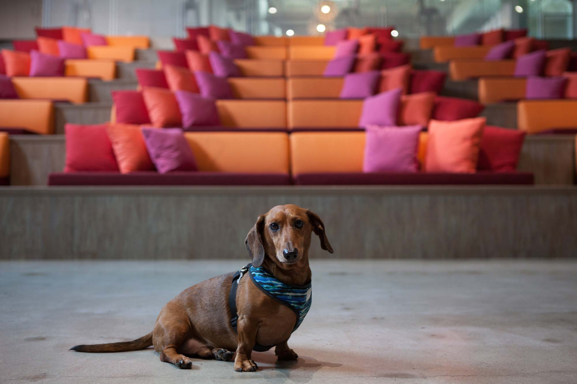 Dachshund in front of colorful benches on stone floor, symmetrical cute photo | Dog Photography | Dog Portrait